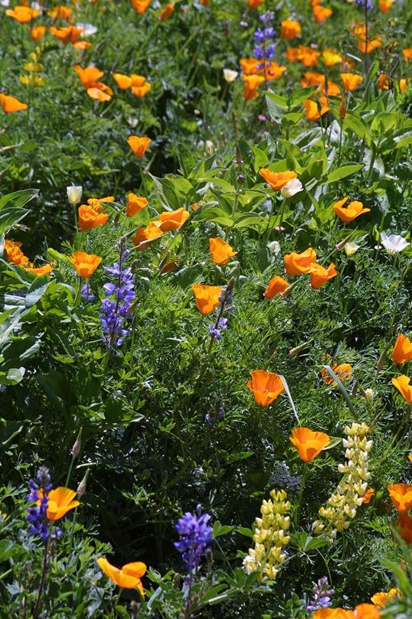 Deer Resistant Wildflower Seed Mixture
