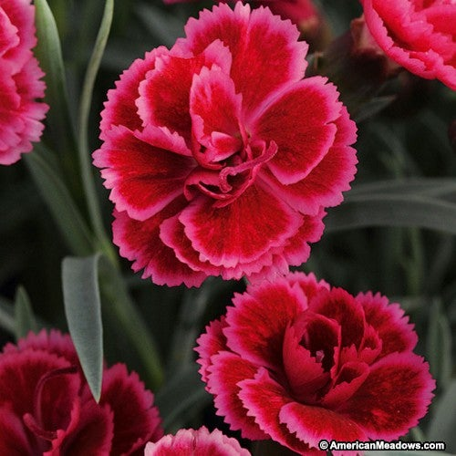 Dianthus Burgundy Blush
