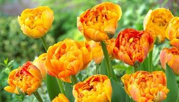 double late tulips