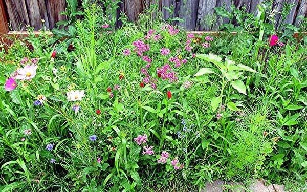 dry area wildflower seed mixture next to fence