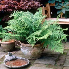 large fern in container