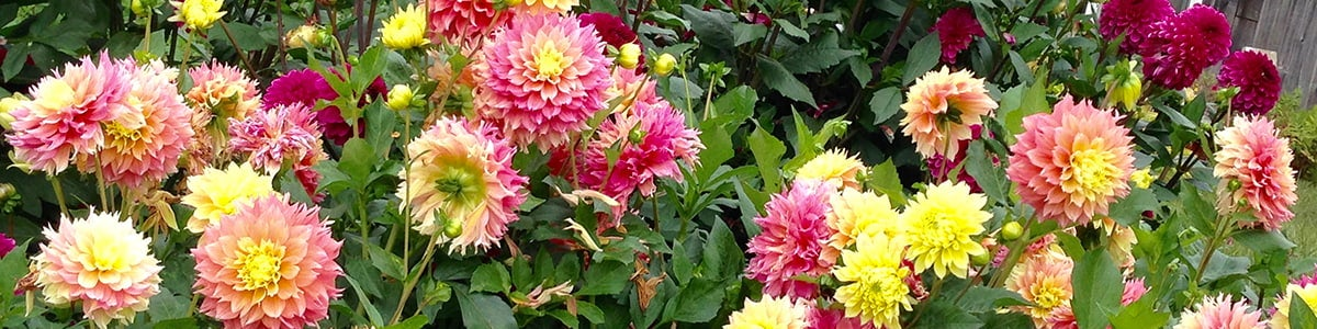 A Dahlia Flower Bed In Bloom