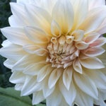 decorative dahlia cafe au lait