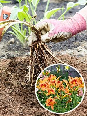 How To Grow Daylilies