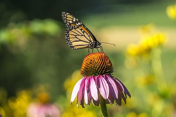 purple coneflower or echinacea with monarch