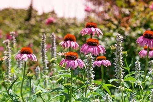 Echinacea (Purple Coneflower) in a Vermont Meadow