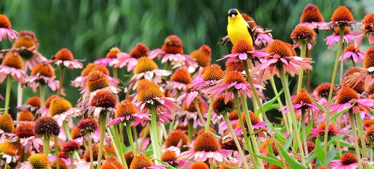 american gold finch on a echinacea or coneflower