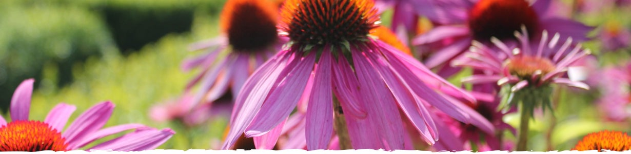 closeup of echinacea