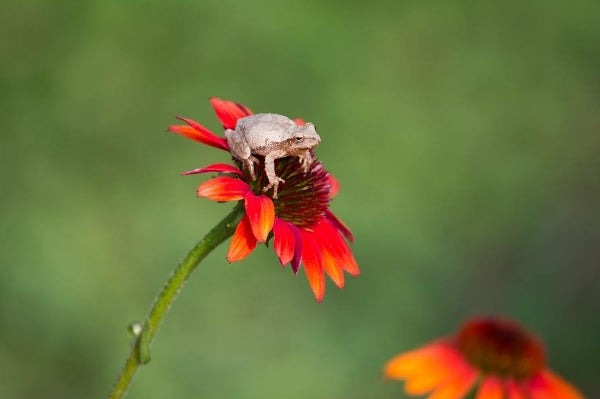 tiny frog on echinacea