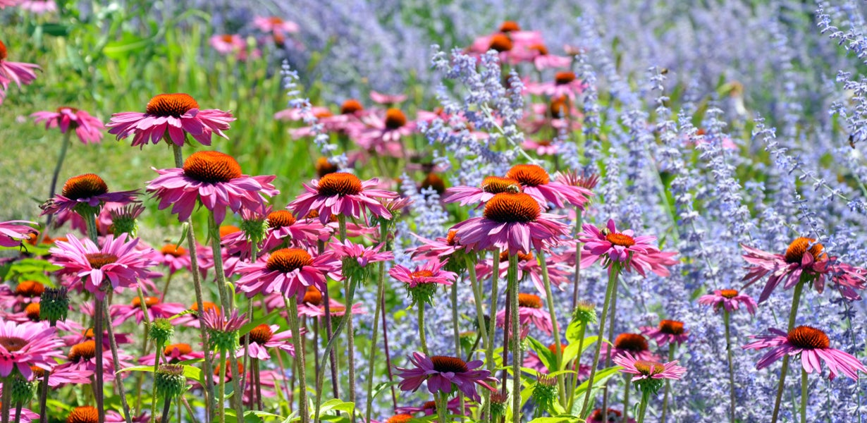 echinacea and russian sage