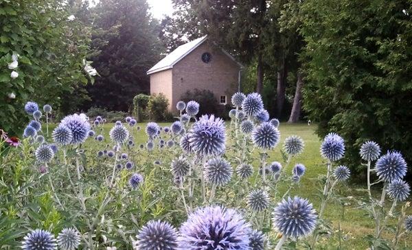 Veitch's Blue Echinops in Garden