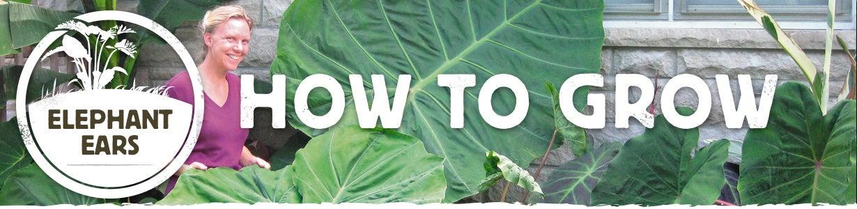 how to grow elephant ears