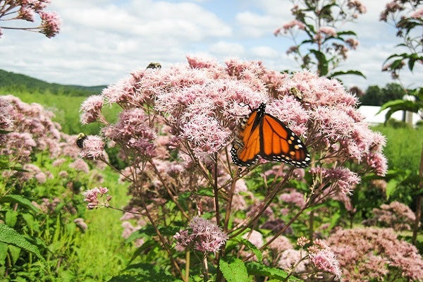 Joe Pye Weed can rise to as tall as 5- 6 feet with large hydrangea-like lavender blooms, great for any moist areas.
