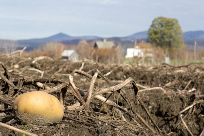 summer planted potatoes