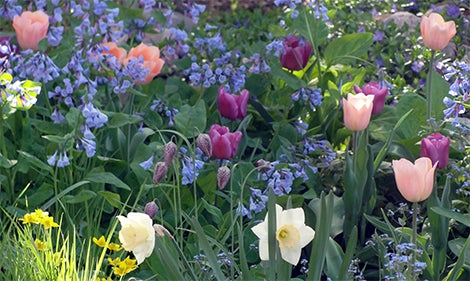 tulips daffodils and virginia bluebells