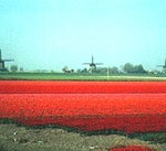 Field of Red Tulips in Bloom