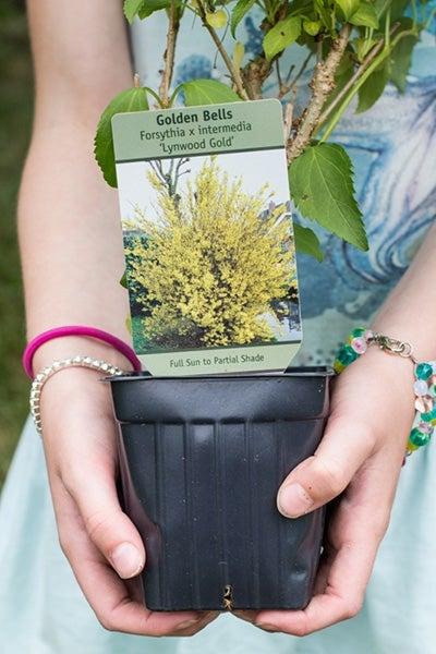 forsythia lynwood gold