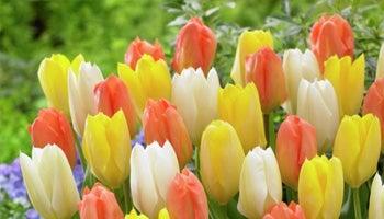pastel emperor tulips