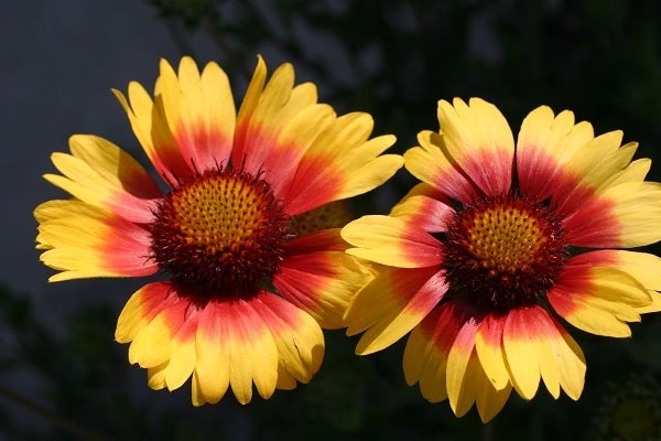 Blanket Flower adds vibrant, bold color to any sunny garden and blooms for months, and is native to the plains and Western U.S