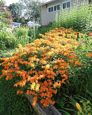 butterfly weed in a garden