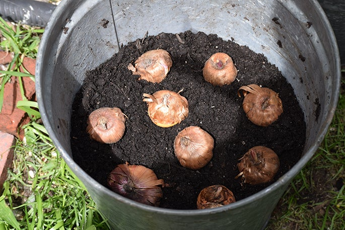 gladiolus bulbs planted in container