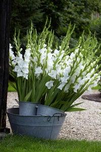 White Prosperity Gladiolus
