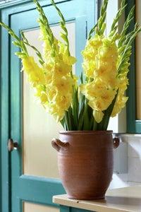 yellow pastel gladiolus