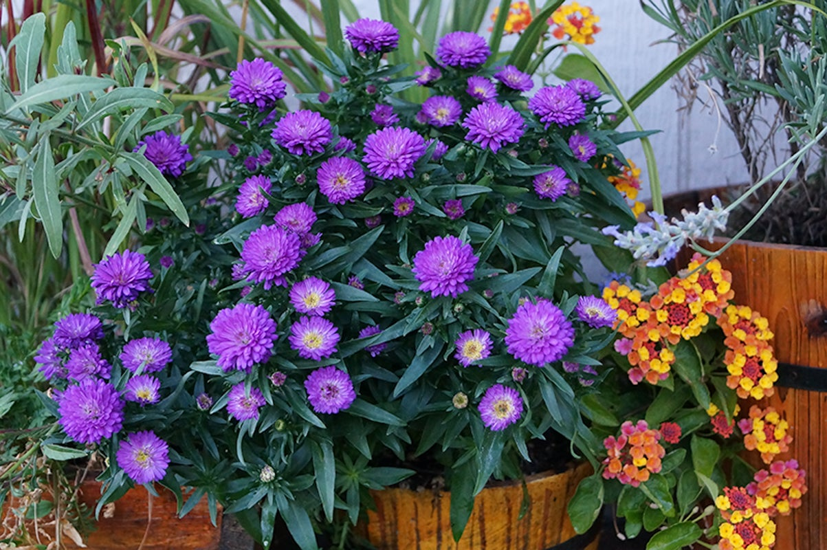annuals in container
