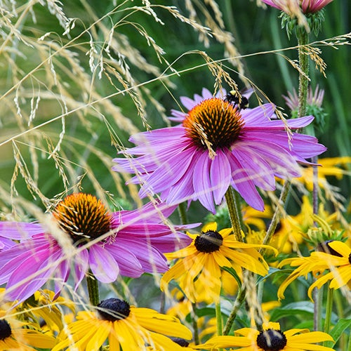 Echinacea, Black Eyed Susans, and Ornamental Grass