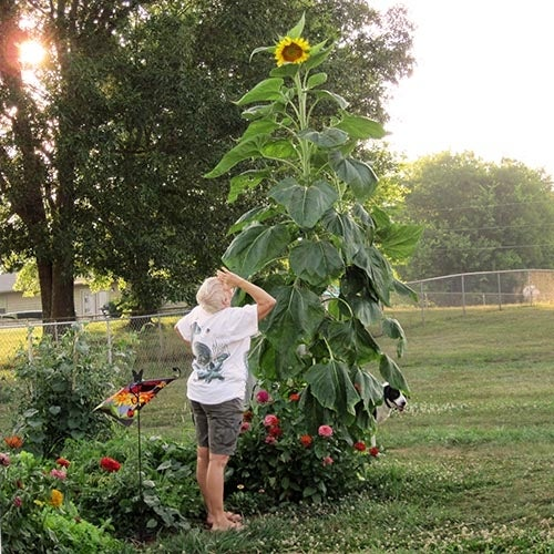 woman looking up at extra tall sunflower
