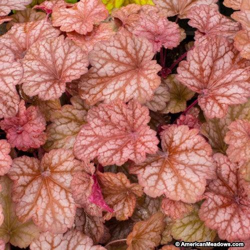 Pink Coral Bells