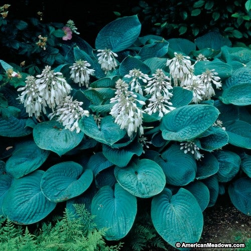 Hosta 'Elegans' with blue foliage and pink blooms