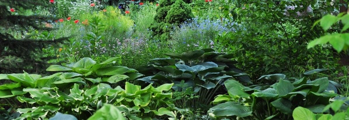 Hosta Planted in Bulk