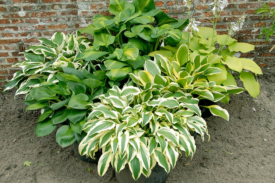 Hostas add interest to containers with their gorgeous foliage.