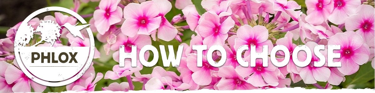 how to choose phlox