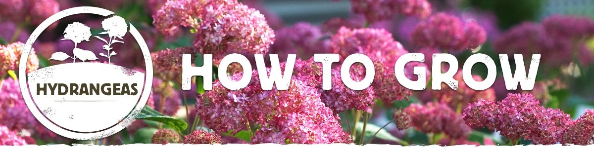 Growing Hydrangea Instructions