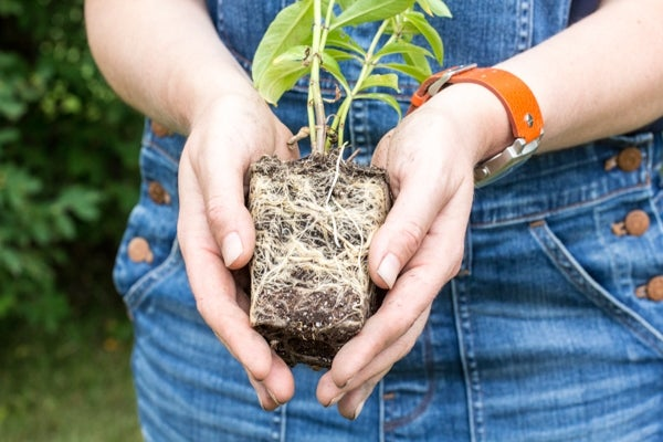 person holding phlox plant