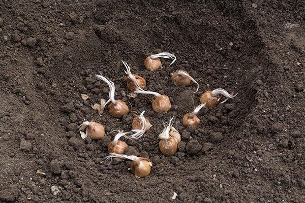 saffron crocus corms in ground
