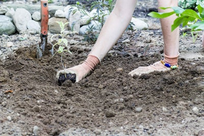 Planting Butterfly Bush at soil level