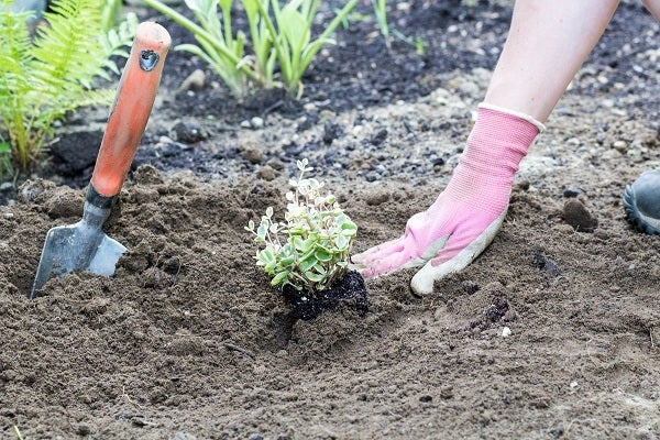 Sedum being planted in the ground