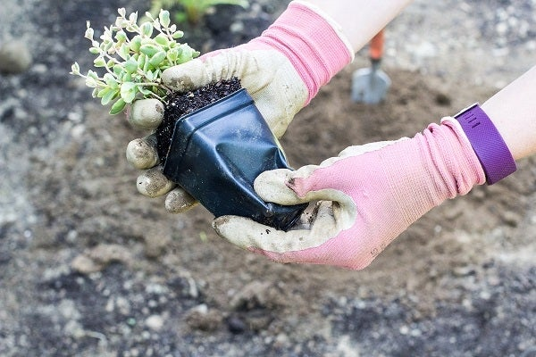 Sedum being removed from container