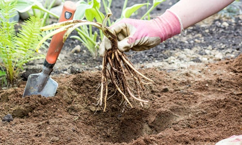planting daylily bare root