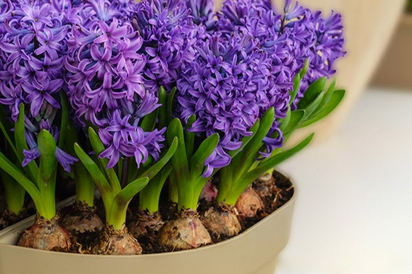 Hyacynth Blooms