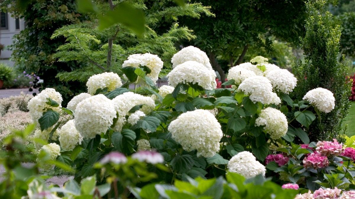 white hydrangea incrediball in bloom