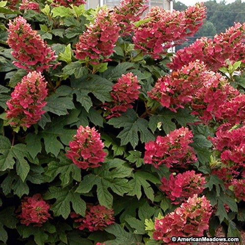 Ruby Slippers Oak Leaf Hydrangea with Red Blooms