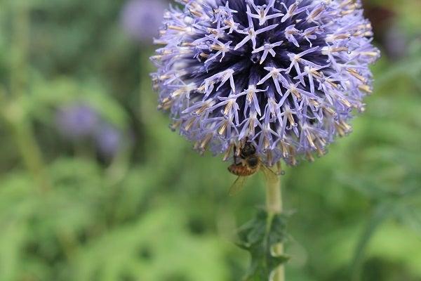 Echniops with pollinators