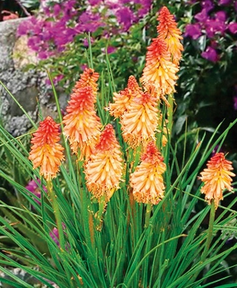 Red Hot Poker Creamsicle Dwarf Variety