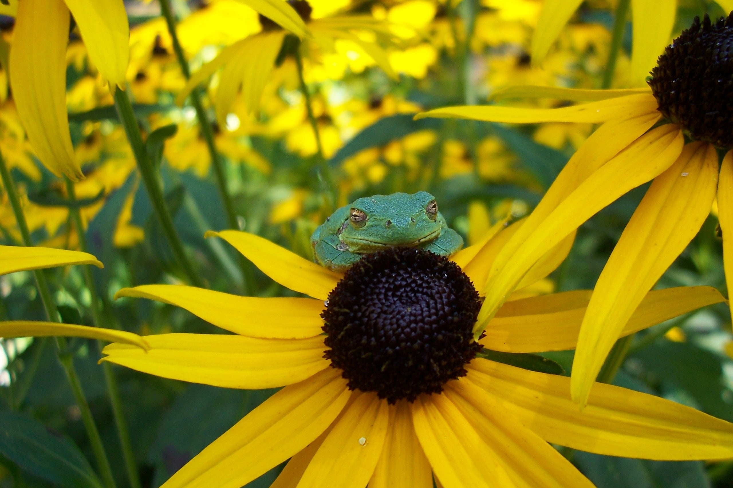 sunflower with frog sitting on top