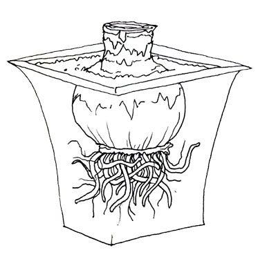 Large Amaryllis Bulb in Growing Pot