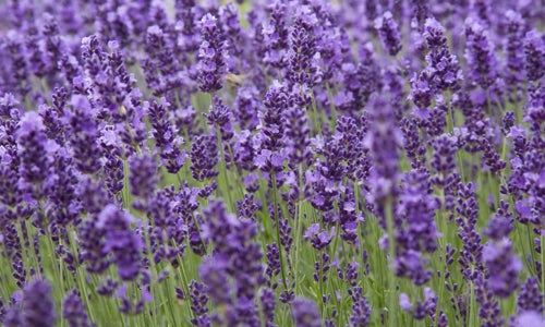 How To Choose The Best Lavender